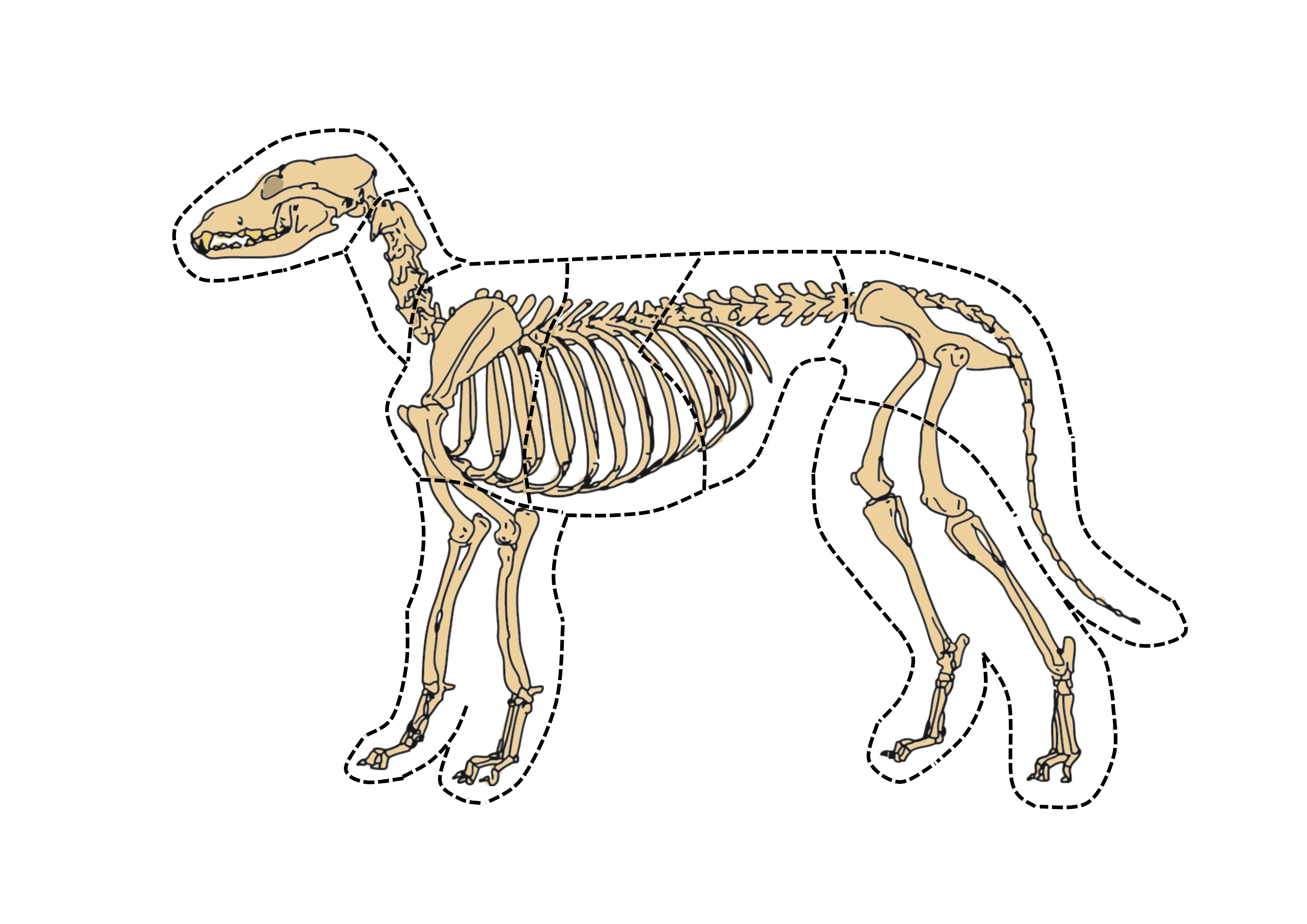 skeletpuzzel hond